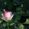 lotus-4312141_1920